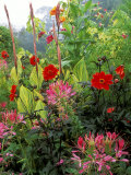 Cleome (Cherry Queen)  Dahlia (Bishop of Llandaff) &amp; Canna Striata