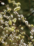 Salix Acutifolia &quot;Blue Streak&quot;  Silvery Catkins on Branch  Some with Yellow Anthers