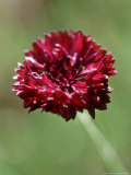 Centaurea Cyanus Black Ball  Close-up of Red Flower Head