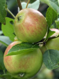 Malus (Scrumptious)  Close-up of Apples on Stalk