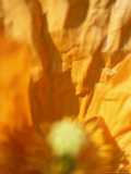 Meconopsis Cambrica (Welsh Poppy)  Close-up of Orange Flower