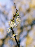 Lonicera Purpusii (Spring Romance)  February