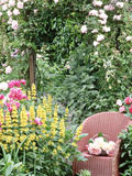"Rose Arch  Chair Trug  Rosa ""Peace "" Lysimachia Punctata  Rosa ""Albertine"""
