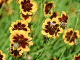 Yellow Flower with Contrasting Coloured Centre and Bee (Cosmidium Burridgeanum Phillipine)