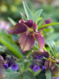 Helleborus X Hybridus and Pulmonaria (Elworthy Seedling)