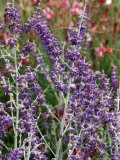 Perovskia  Little Spire (Russian Sage)