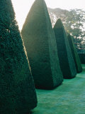 Yew Topiary Pyramids Athelhampton  Dorset