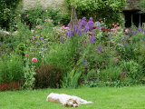 Close-up of Brown and White Family Dog  in Front of Summer Border at Cooks Farm Garden  Somerset