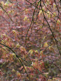 Acer Palmatum with Early Spring Growth and Raindrops