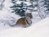 Siberian Tiger in Snow
