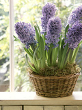 Hyacinthus (Hyacinth) in Basket on Windowsill