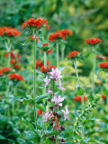 Summer Partners  Dictamnus Alba Purpureus &amp; Lychnis Chalcedonica