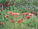 Papaver Rhoeas (Field Poppy)  Red Flower & Buds with Sunlight  September