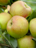 Close-up of Apple  (Court of Wick)