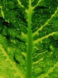 Extreme Close-up of Brassica  Savoy Cabbage  November