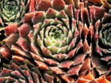 Sempervivum Sosnowskyi &quot;Spherette&quot;