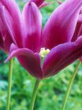 """Tulipa """"Lily Mauve"""" (Pink)"""