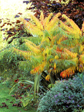 "Rhus Typhina ""Dissecta "" Growing in Border Turning Orange  October"