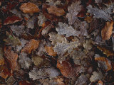 Fagus (Beech) and Quercus (Oak) Leaves with Frost in November