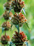 Morina Longifolia  Close-up of Flower Head