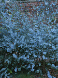 Tasmanian Blue Gum