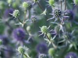 Eryngium (Sea Holly) Close-up of Blue Flowers  Perennial