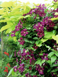 Italian Clematis with Golden Leaved Catalpa