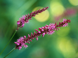 Persicaria Amplexicaulis  Close-up of Pink Flowers  September