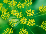 Foeniculum Vulgare (Fennel)  Close-up Flower Head