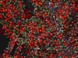 Cotoneaster Horizontalis Fruits  Red Berry Autumn
