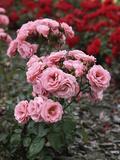 "Rosa ""Tanope"" (Floribunda Patio Rose)"