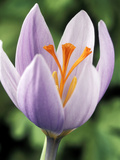 Crocus Robertianus