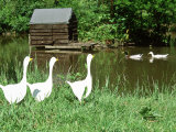 Three White Geese Ornaments in Long Grass Near Pond  Mallard Ducks in Background