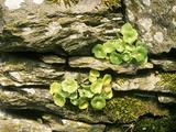 Umbilicus Rupestris (Wall Pennywort)