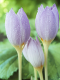Crocus Kotschyanus (Reliance)