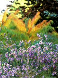 Asters (Purple) Growing in a Clump  October
