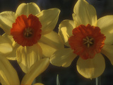 "Narcissus ""Ambergate"" Div 2 Large-Cupped Two Flower Heads Side Lit View"