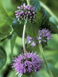Mentha Pulegium Pennyroyal (Mint)