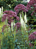 Sanguisorbia Canadensis and Eupatorium Purpureum Growing Together