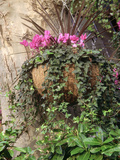 Autumn Hanging Basket Cyclamen  Hedera  Phormium Fixed to Tree