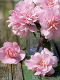Flower Arrangement of Pale Pink Camellia Flowers in Glass Vase on Rustic Table