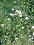 "Aster Cordifolius ""Silver Spray "" Portrait of Flowers and Foliage"