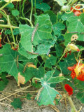 Caterpillar Damage  Cabbage White on Tropaeolum (Nasturtium)