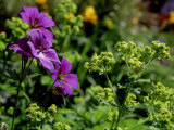 "Geranium Himalayense X Pratense ""Johnsons Blue"" (Cranesbill)"