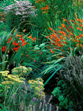 "Crocosmia ""Venus "" Crocosmia ""Walberton Red "" Achillea ""Lilac Beauty"" and Helenium ""Konigstiger"""