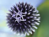Echinops Ritro Veitchs Blue (Globe Thistle)