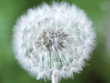 Taraxacum Officinale (Dandelion)  Close-up of Seed Head