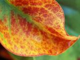 Limonium Platyphyllum