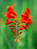 "Crocosmia ""Lucifer "" Close-up of Red Flower Head"