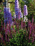 Pink and Purple Summer Border  Pink Delphinium and Purple Pink Flowers of Salvia X Sylvestris